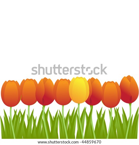 bright orange tulips isolated