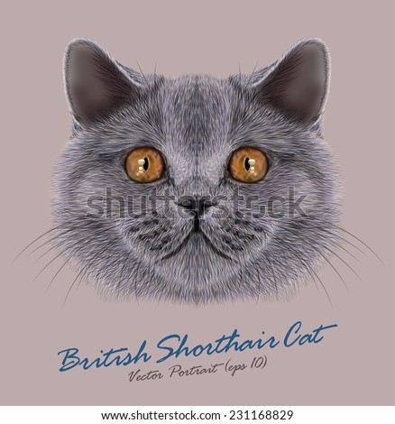 british shorthair cat animal