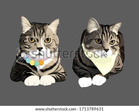 british shorthair cat two