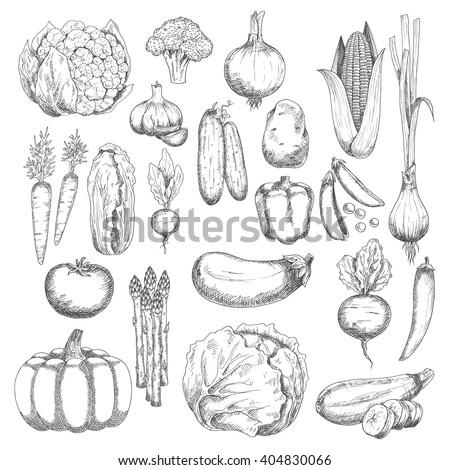 Broccoli, corn, pea, onion, eggplant, tomato, carrot, beet, cayenne, bell pepper, cabbage, pumpkin, garlic, cucumber, potato, chinese cabbage, cauliflower, zucchini, radish, asparagus, scallion sketch