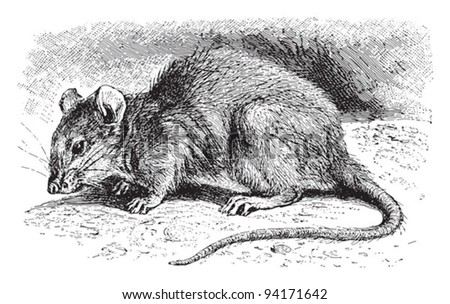 Brown rat (Mus decumanus) / vintage illustration from Meyers Konversations-Lexikon 1897