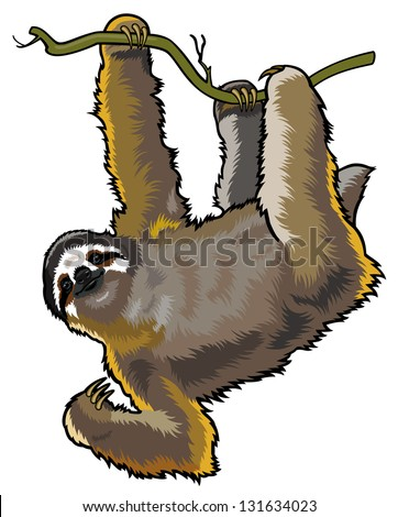 brown  three-toed sloth,bradypus variegatus,wild animal of amazon rain-forest,picture isolated on white background
