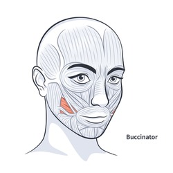 Buccinator. Facial muscles of the female. Detailed bright anatomy isolated on a white background vector illustration
