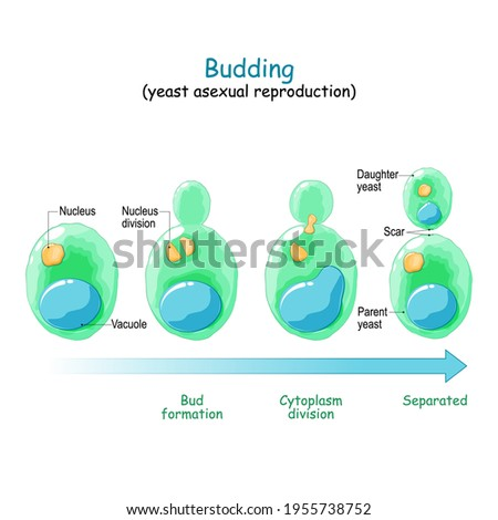 Budding. asexual reproduction of yeast cell. Vector diagram Stock photo ©