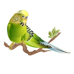 Budgerigar, green pet parakeet  or budgie or shell parakeet home pet on a branch on a white background watercolor vintage vector illustration editable hand draw