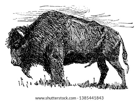Buffalo is a large bovid originating, vintage line drawing or engraving illustration.