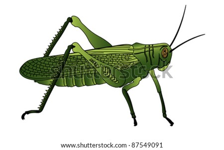 bug - cricket isolated on white background , vector - stock vector