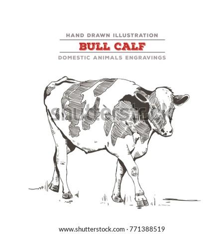 Bull calf, vector illustration. Realistic hand drawing.