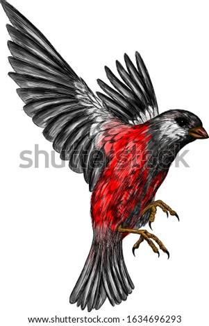 bullfinch grey bird with red