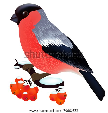 Bullfinch Sitting On the Mountain Ash Branch, Isolated On White Background, Vector Illustration