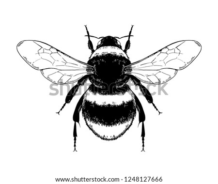 Bumblebee, Bombus, Bee. Highly detailed vector hand drawn illustration.