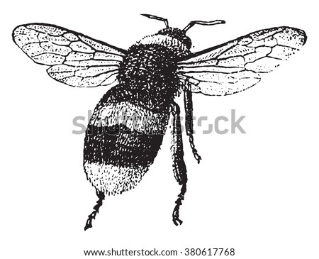 Bumblebee Vintage Engraved Illustration Dictionary Of Words And Things