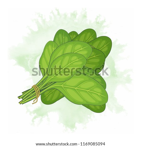 Bunch of fresh spinach leaves vector illustration