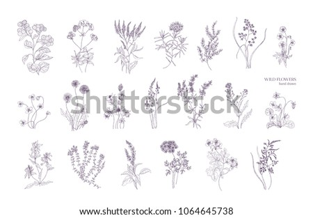 Bundle of detailed botanical drawings of blooming wild flowers. Collection of herbaceous flowering plants hand drawn with contour lines on white background. Elegant monochrome vector illustration. #1064645738