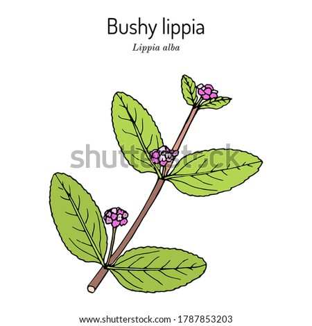 bushy lippia  or hierba negra