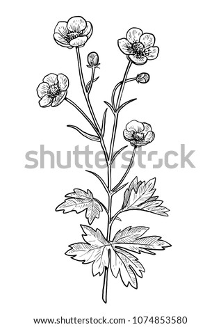 buttercup flower illustration