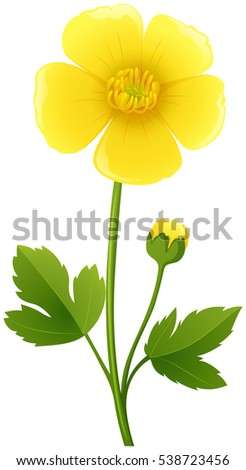 buttercup flower in yellow