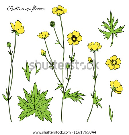 buttercup flower or crowfoot