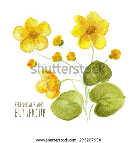 buttercup perennial flower on