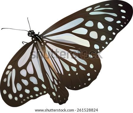 butterfly blue glassy tiger