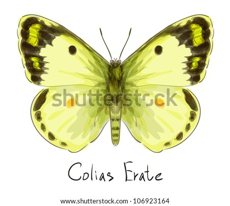 Butterfly Colias Erate. Watercolor imitation. Vector illustration.