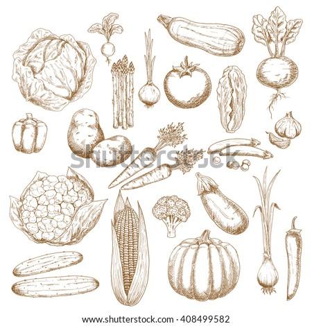 Cabbage, onion, tomato, pepper, potato, cucumber, beet, broccoli, carrot, pumpkin, corn, eggplant, pea, cauliflower, zucchini, garlic, radish, scallion and asparagus vegetables sketches