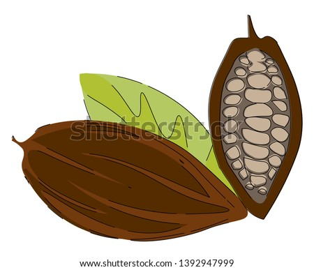 Cacao beans  fruit or pod of the cacao tree with rough  leathery brown rind filled with pulp and seeds exposed are pale lavender to dark brownish purple color  vector  color drawing or illustration