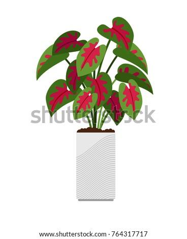 caladium house plant in flower