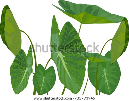 Caladium leaves of green
