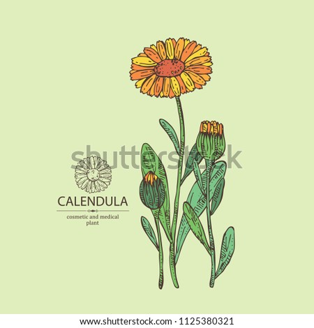 Calendula: calendula plant, leaves and calendula bud and flowers. Cosmetics and medical plant. Vector hand drawn illustration.