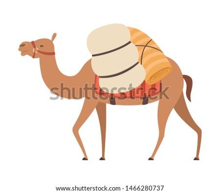 camel desert animal walking