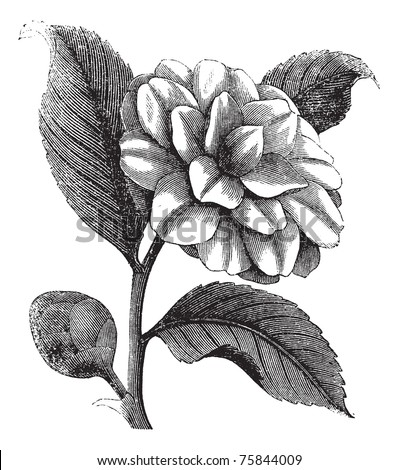 Camellia Japonica or Rose of winter or Theaceae vintage engraving. Old engraved illustration of a beautiful Camellia Flower