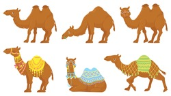 Camels. Wild and domesticated desert caravan animals with saddle. Camel with decorated seat for ride. Isolated on white background cartoon arabian dromedary characters set vector illustration.