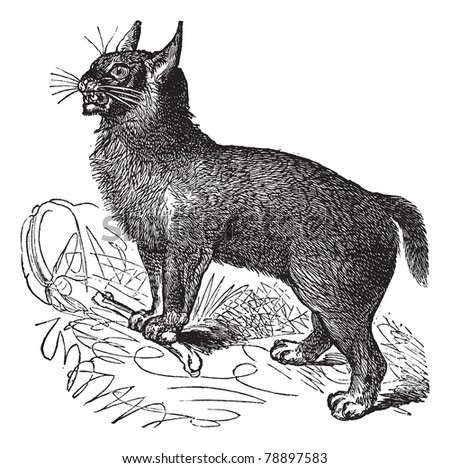 Canada Lynx or Lynx canadensis or Canadian Lynx, vintage engraving. Old engraved illustration of Canada Lynx in the mountains of central France. Trousset encyclopedia (1886 - 1891)