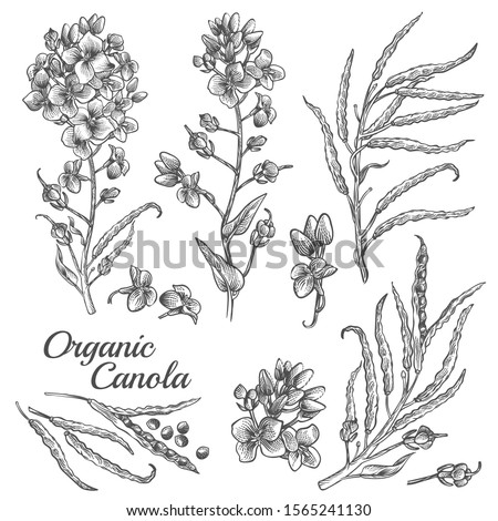Canola flowers, organic mustard, pod with seeds and leaves. Vector engraved botanical illustration of rape plant. Hand drawn outline sketch of Brassica napus isolated on white background