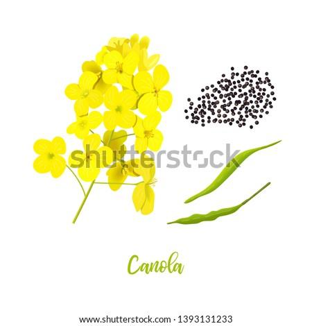 canola or colza flowers  seeds