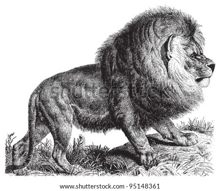 cape lion  panthera leo