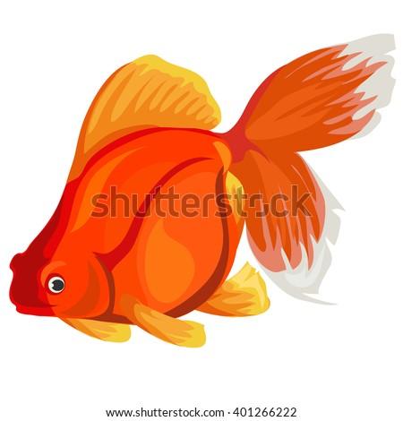 carassius auratus  gold fish