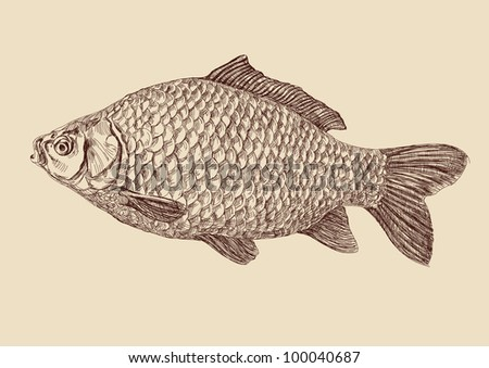 carp fish  drawing vector illustration