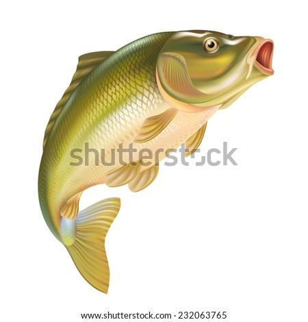 carp fish vector illustration