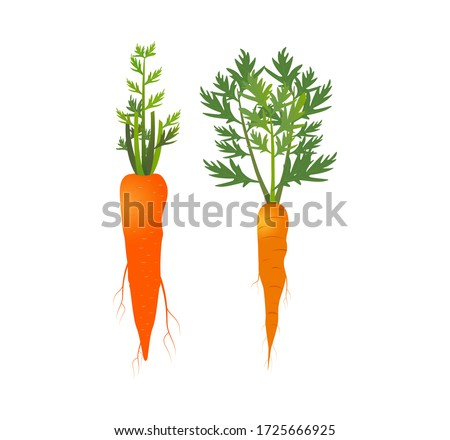 Carrot isolated. Carrot icon. Carrots in hand and washing with water. Fresh carrot for package design element. Vegetables abstract background. Carrots. Vector illustration of single Carrot. Closeup.