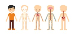 Cartoon anatomy of the human body: skeleton, nervous, circulatory and digestive systems. Asian male character. Flat vector illustration isolated on white background.