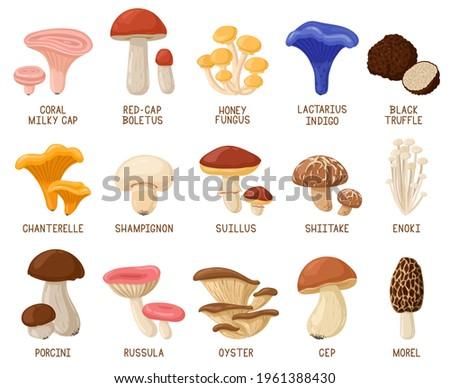 Cartoon edible mushrooms. Autumn woods edible mushrooms, morel, cep, oyster and chanterelle vector illustration set. Forest cartoon mushrooms. Mushroom edible and ingredient vegetable