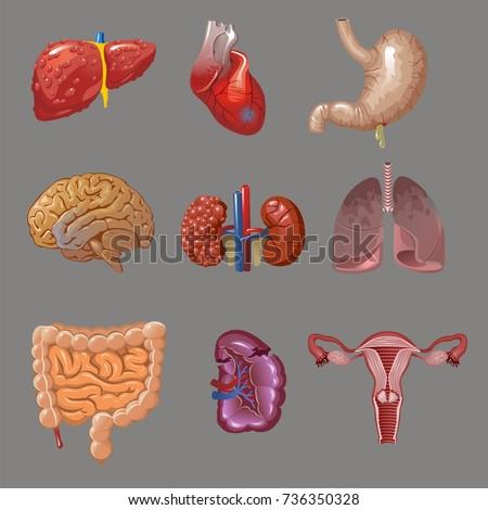 cartoon internal human organs