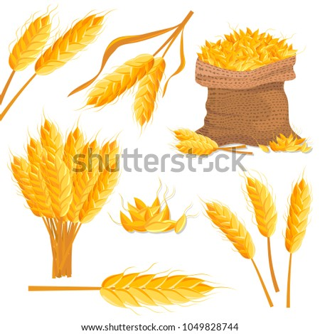 Cartoon wheat isolated set. Wheat bread ears, cereal crop harvest, grain culture vector illustration. Bakery design element, organic local farming, fresh healthy food, natural agricultural concept.