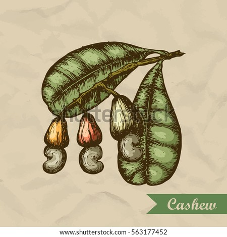 Cashew branch with leaves and nuts. Engraving style illustration. Template for your design. Vector illustration.