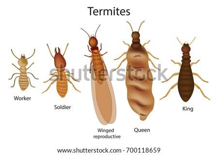Caste system of termites.