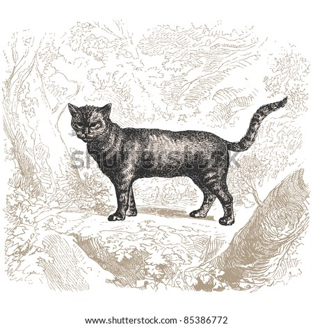 "Cat - vintage engraved illustration - ""Histoire naturelle"" by Buffon and Lacépède published in 1881 France"