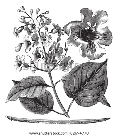 Catalpa bignonioides or cigar tree vintage engraving. Old engraved illustration of blossoms of catalpa tree. Trousset encyclopedia (1886 - 1891). - stock vector