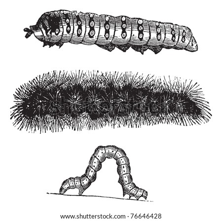 Caterpillar, vintage engraving. Old engraved illustration of the caterpillars of the Indian Moon moth (top), Brush-footed butterfly (center), and Geometer moth (bottom). Trousset encyclopedia.